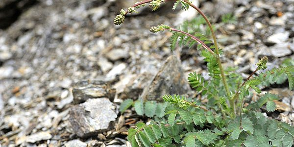 Sanguisorba minor, detta pimpinella o salvastrella, erba commestibile