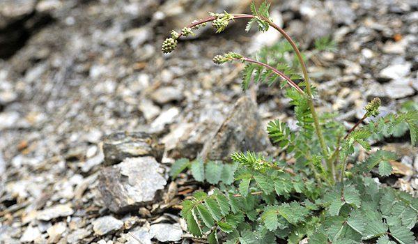 Sanguisorba minor, detta pimpinella o salvastrella, erba commestibile