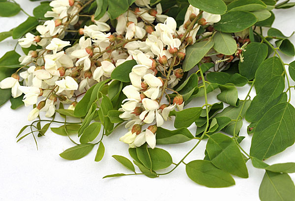 Robinia pseudoacacia or Black locust, flowers are edible!