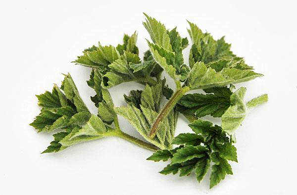 Heracleum sphondylium - common hogweed recipe
