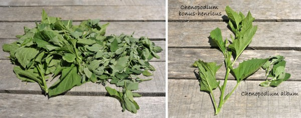 Good King Henry (Chenopodium bonus-henricus) and Lamb's quarters (Chenopodium album)