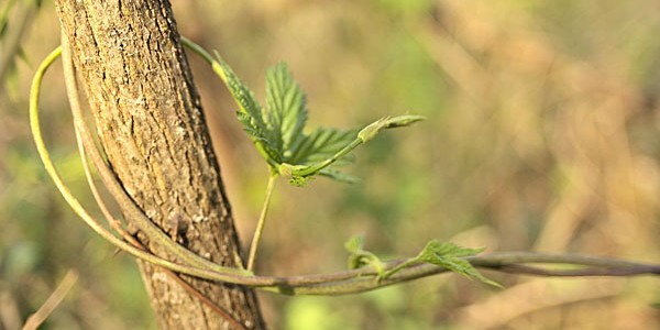 Hop climbing vine
